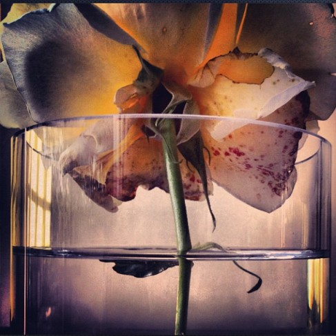 Beautiful Roses by Nick Knight